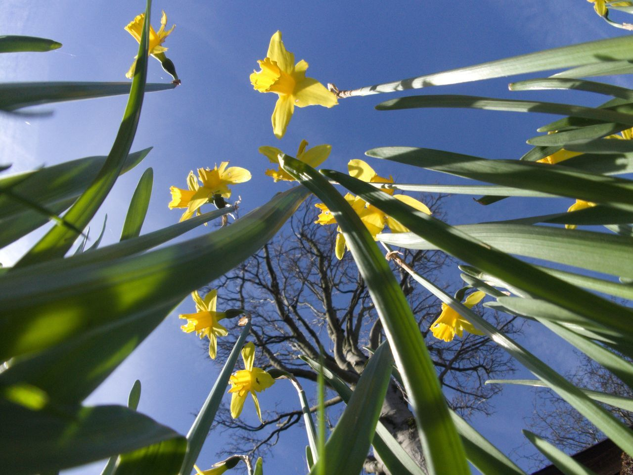 Flower Growth Nature Fragility Yellow Beauty In Nature Freshness Petal Low Angle View No People Plant Sunlight Close-up Blooming Day Sky Outdoors Flower Head Branch Tree Daffodil Springtime Spring