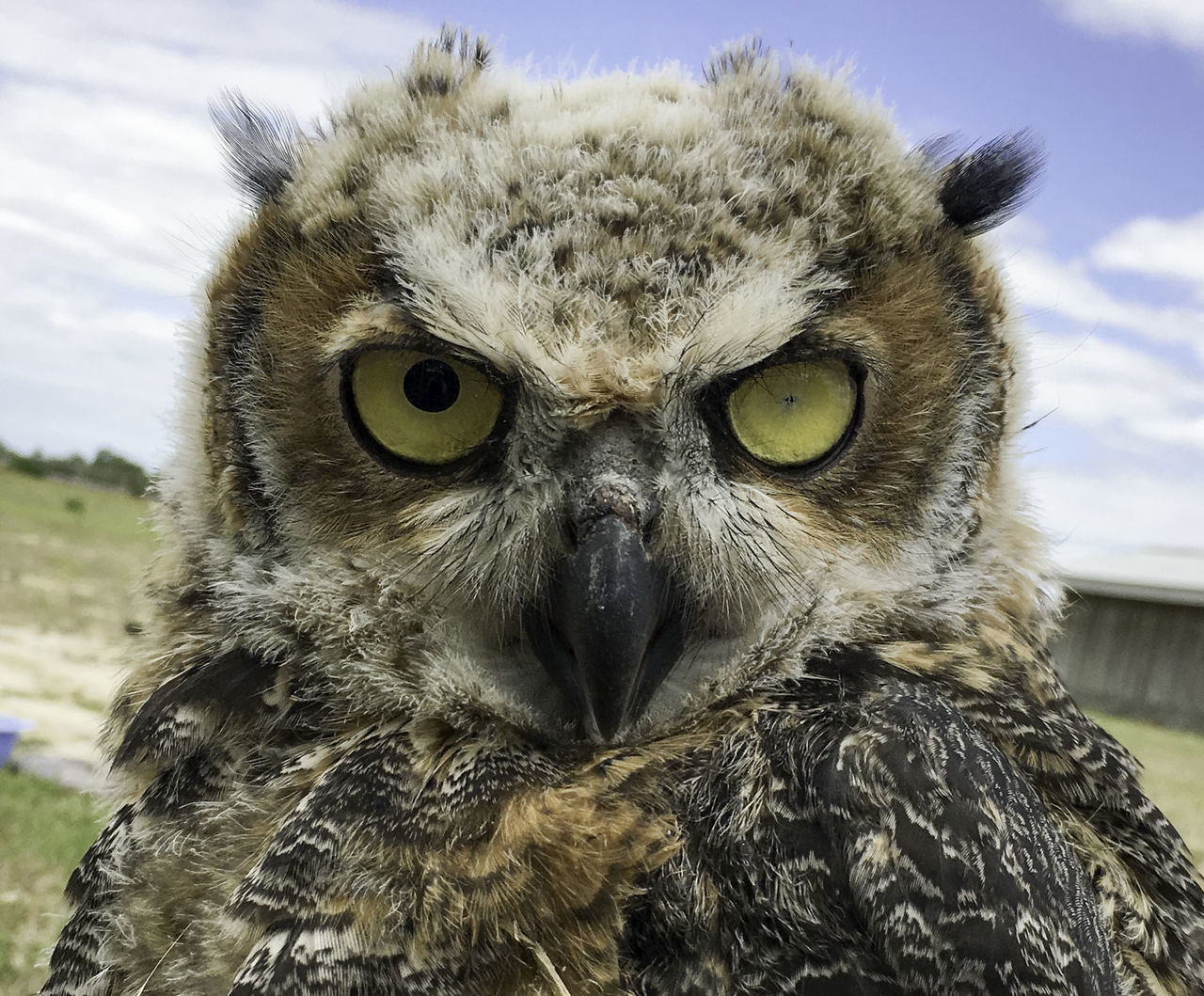 Face of blind juvenile owl Animal Themes Animal Wildlife Animals In The Wild Bird Bird Of Prey Close-up Eyes Looking At Camera Nature Outdoors Owl Owlette Raptor Wildlife