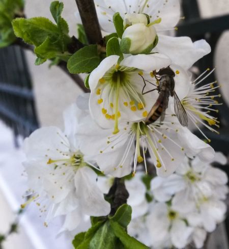 Bee Springtime Mothernature Natureporn Nature Flower Insect Beauty In Nature Animals In The Wild Animal Themes Growth One Animal Freshness Plant Fragility Petal White Color Close-up Outdoors Flower Head No People Day Pollination Animal Wildlife