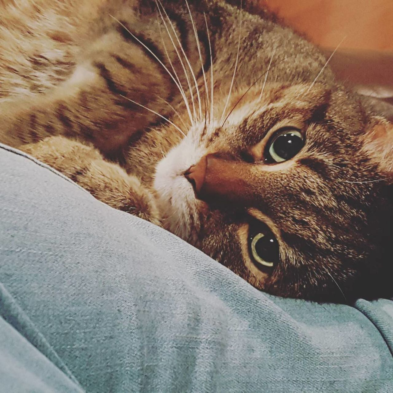 domestic cat, pets, one animal, domestic animals, animal themes, mammal, feline, cat, indoors, whisker, portrait, animal head, no people, looking at camera, close-up, home interior, day