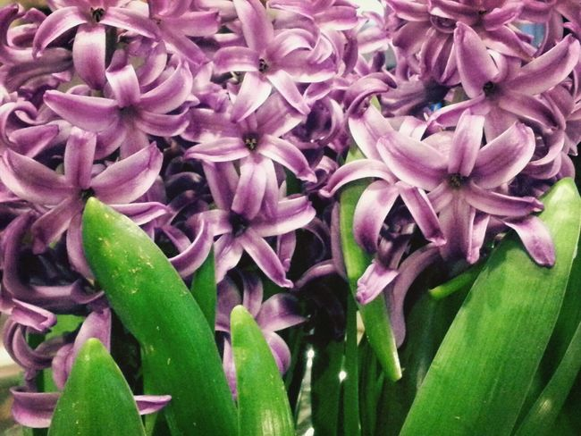 Springiscoming Hyacinth