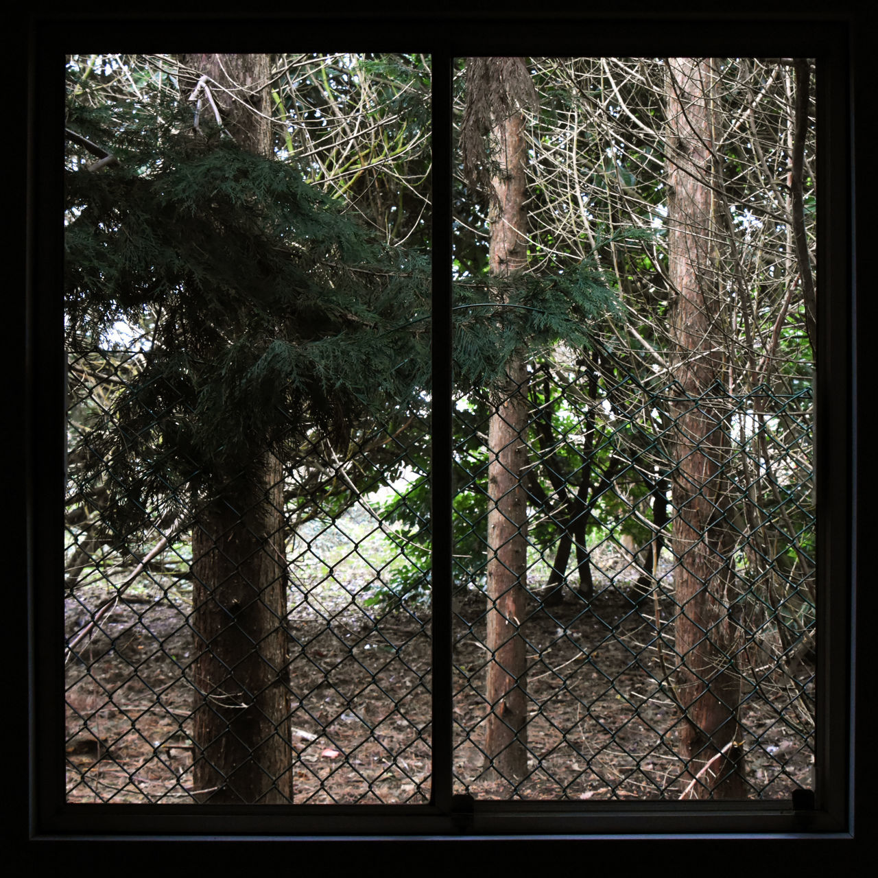 Branch Chainlink Fence Conifers Day Looking Out Nature No People Outdoors Square Windows Tree View From The Window... Woods