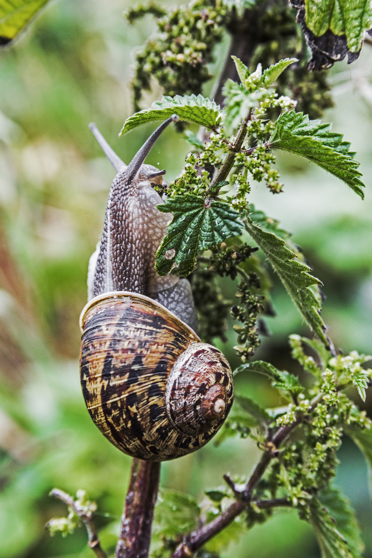 Garden snail, Helix aspera, on foliage. Close-up Coiled Shell Garden Gastropod Gastropoda Helix Aspersa Herbivorous Landscape Mollusc One Animal Pest Plant Eating Pulmonate Shell Snail Terrestrial
