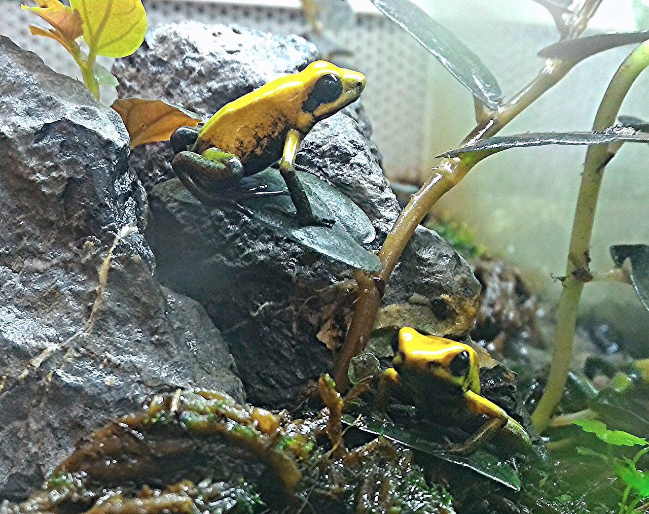 Frog Frogs Frog Perspective Frog Eyes Captivity Animal Themes Animals In The Wild No People Zoology Biology Zoomarket Nature Yellow Color Amphibian Close-up Color Photography Exotic Creatures Exotic Exotic Pets Animal Photography Animals Posing