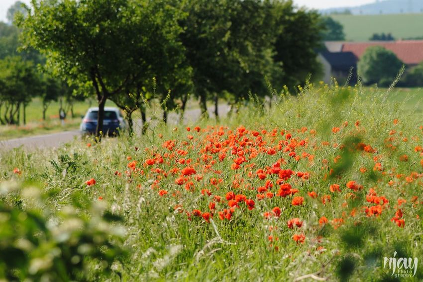 Poppy Poppies  Road Car Germany Landscape Landscape_Collection Field Agriculture Countryside Flowers Flowerporn Nature Naturelovers Red Flower Wildflower Nikon Uncultivated Summer Spring Landscapes Nature On Your Doorstep Rural Scene Flower Plant