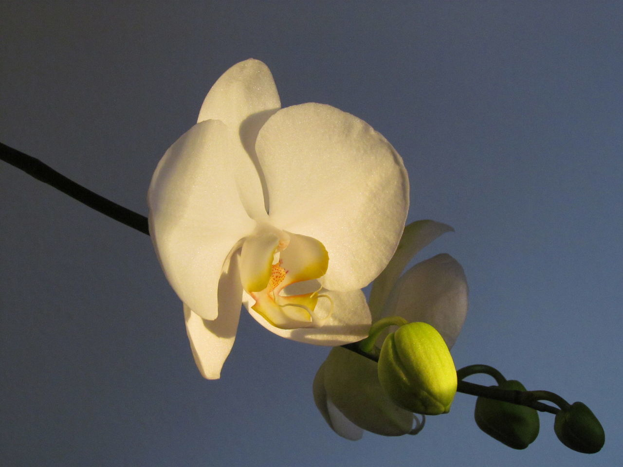 Yellow Studio Shot Close-up No People Fruit Food Healthy Eating Freshness Day Kikosene Orchids Collection EyeEm EyeEm Gallery Orchids Photography Brazil EyeEm Gallery Nature_collection Phalaenopsis Orchid Flower Head Outdoors Petal Fragility Nature Eyeemphotography