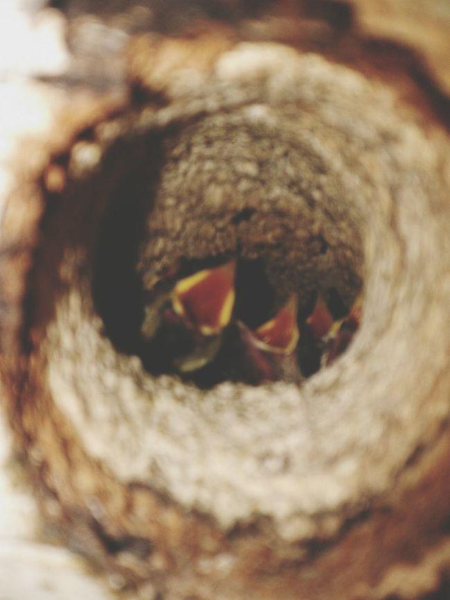Nestlings Nestling Birg Nest