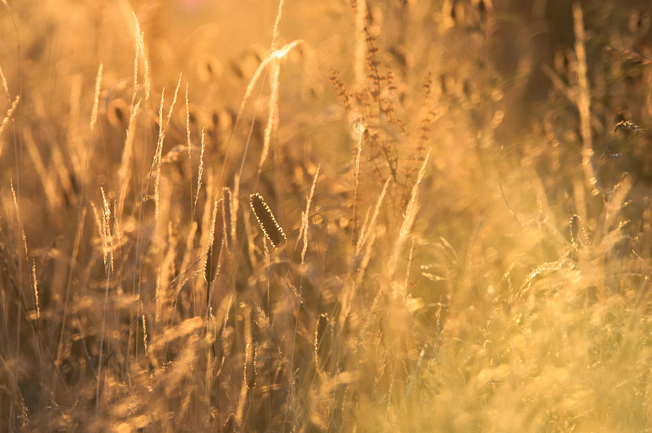 Agriculture Beautiful Light End Of The Day Field Golden Hour Grass Grassland Heath Meadow Meadow Flowers Nature Outdoors Rural Scene Tranquility Sunset Fields Of Gold