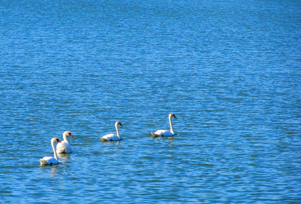 Animal Themes Animal Wildlife Animals In The Wild Beauty In Nature Bird Danube Day Lake Nature No People Outdoors Romania Swan Swimming Togetherness Water Waterfront