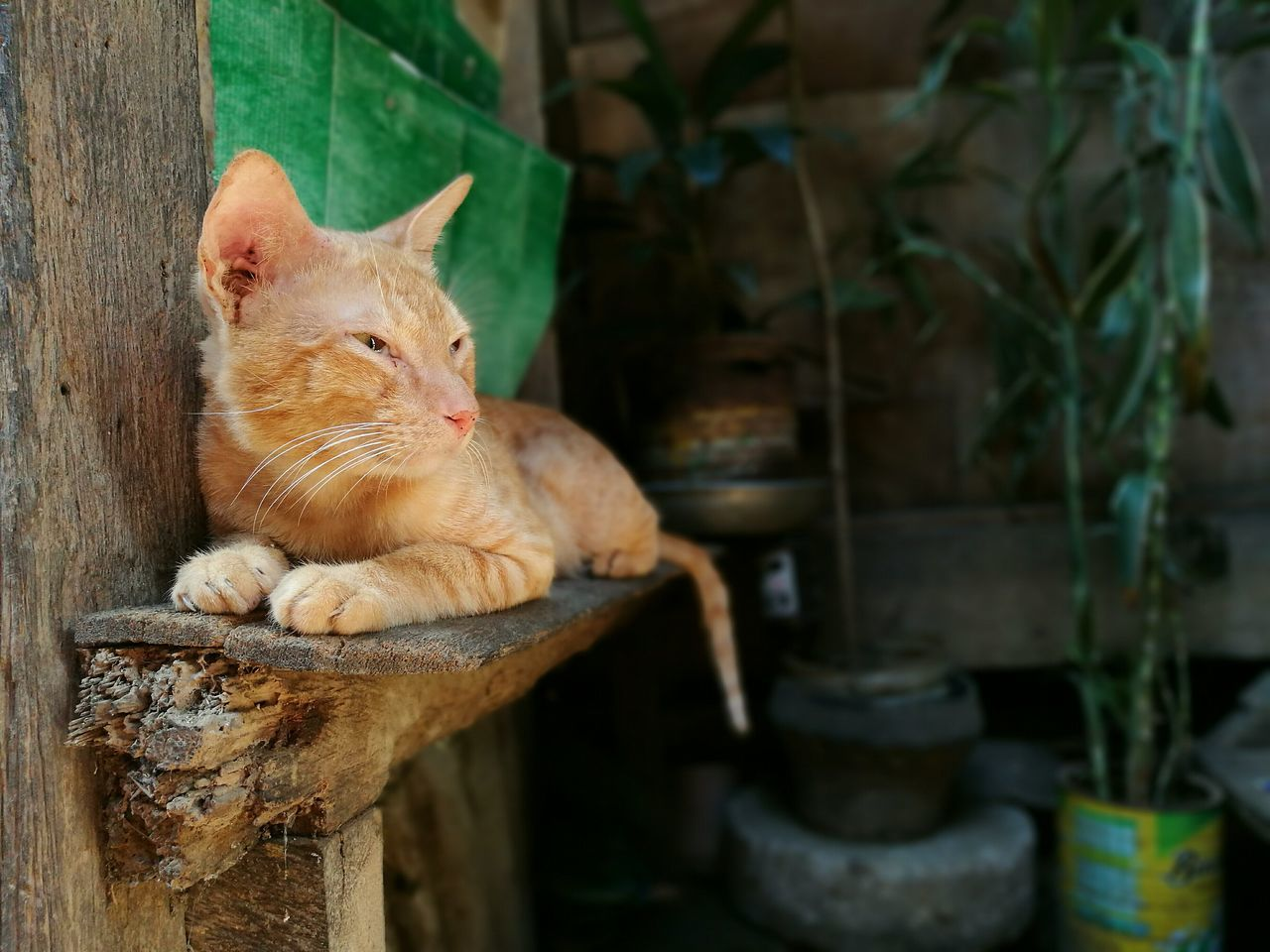 domestic cat, animal themes, mammal, feline, domestic animals, no people, relaxation, pets, one animal, day, outdoors, ginger cat, nature, close-up