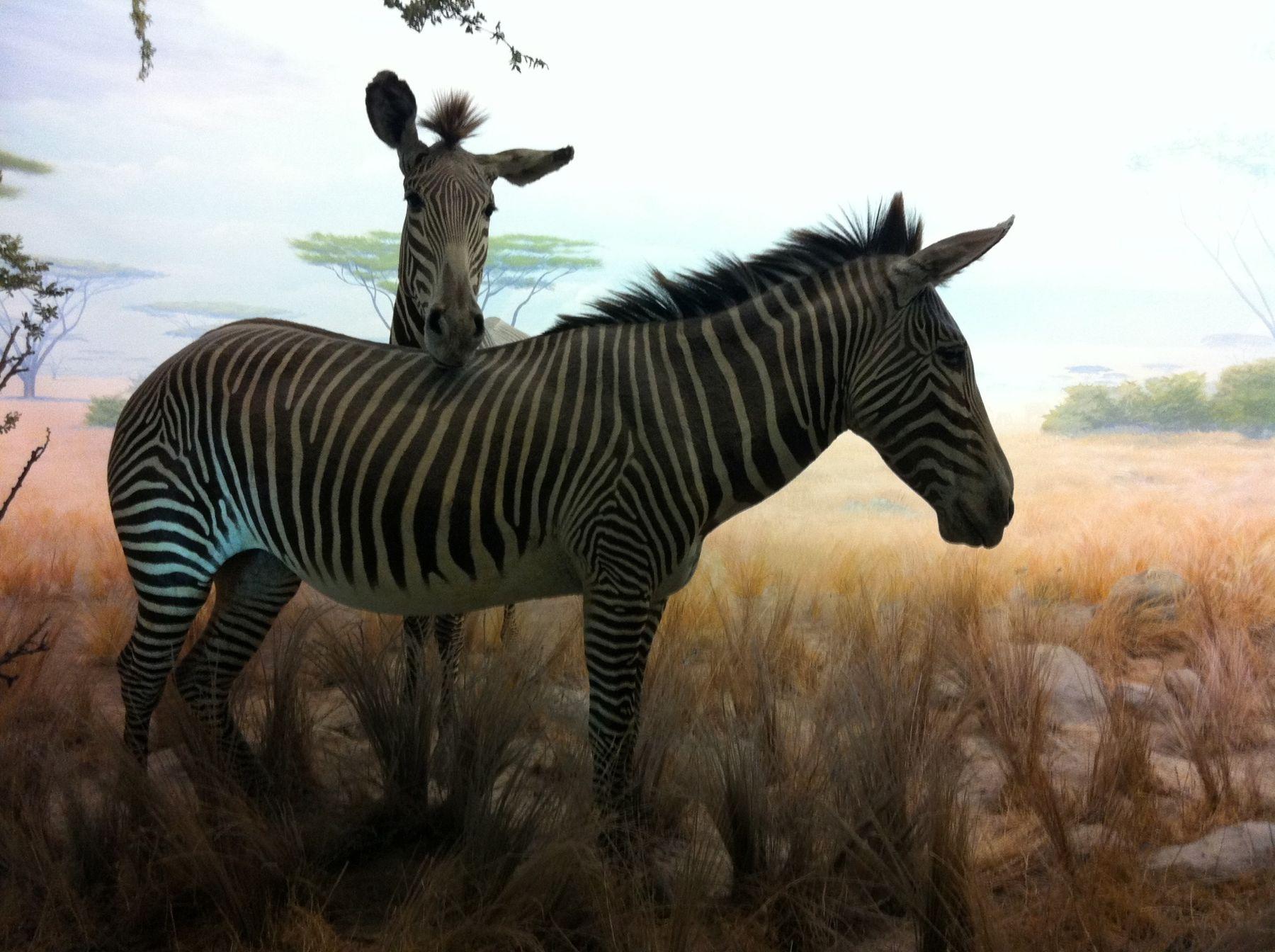 African Hall Zebras California Academy Of Sciences San Francisco