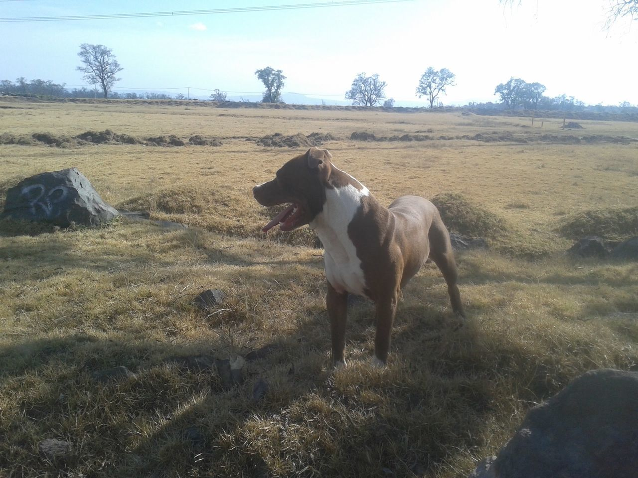 domestic animals, animal themes, mammal, field, horse, day, landscape, outdoors, grass, nature, one animal, dog, pets, sky, livestock, no people, tree, standing, full length