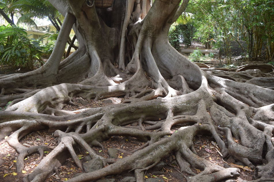Creative Landscape #beautifulnature #calmness #intertwined #landscape #nature #photography #nature's Wonder #roots #serenity  #trees #leaves #weaving Roots