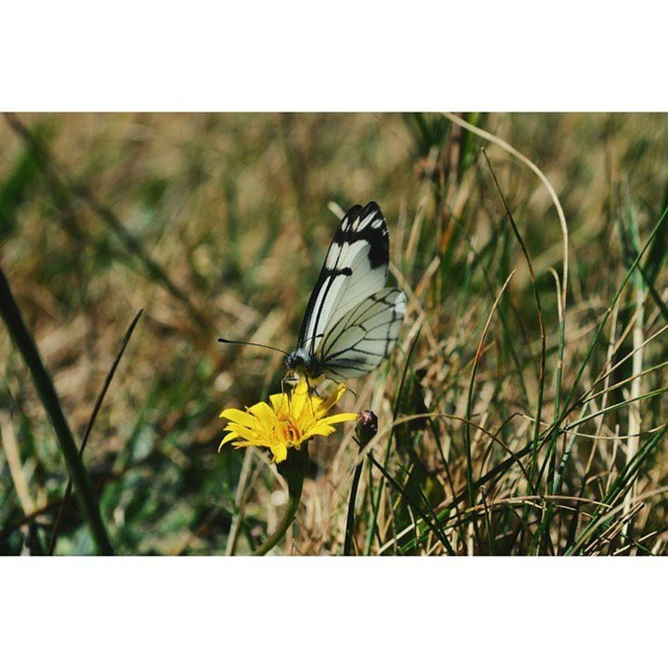 Little flutterby. Butterfly Dandelion Olympicnationalpark Exploring Nikond3200 Vscocam VSCO