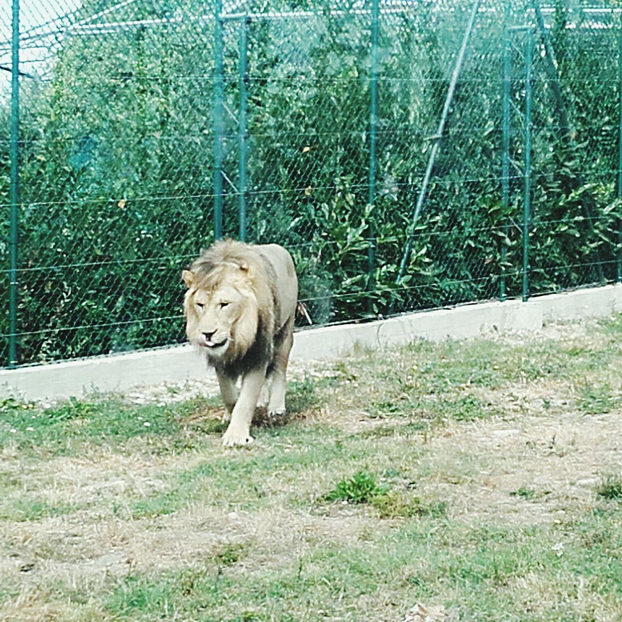 il re sei tuo Leone One Animal Animal Themes No People Nature Lion - Feline Lions Lion Leone Leones Zoo Animals In The Wild Animal Head  Animals