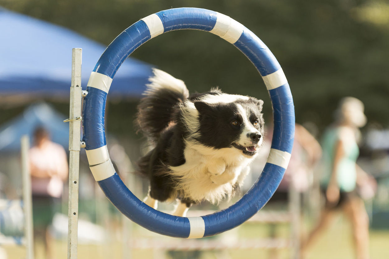 Cleanly thru the hoop! This little girl did a wonderful clear round Alertness Animal Animal Head  Animal Photography Animal Themes Black And White Dogs Black White Dogs Border Collie Close-up Depth Of Field Dog Dog Agility Dog Show Domestic Animals Fluffy Dogs Hoop Jumping One Animal Pets Portrait Selective Focus Sport