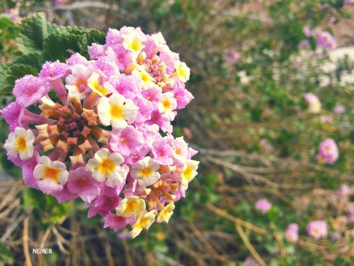 Nature Green Spring Pink Spring Flowers Jordan Amman Nature Photography Pink Color Pink Flower Close Up Photography First Eyeem Photo Beauty In Nature Green Nature Pink And Green Eyem Nature Color Of Life Flowers Yallow Flower Yallow Art Plant Flower Head Springtime Nature
