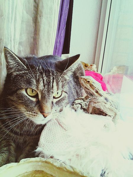 Domestic Cat Pets Domestic Animals Animal Themes Mammal Indoors  Day Close-up No People Reflection Pet Portraits The Week On EyeEm Togetherness My Loves❤ Echse Bartagamen Bartagame, Bearded Dragon, Katzen 💜 Paint The Town Yellow
