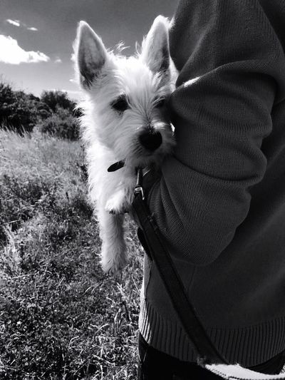 Charlie the westie Pets One Animal West Highland White Terrier