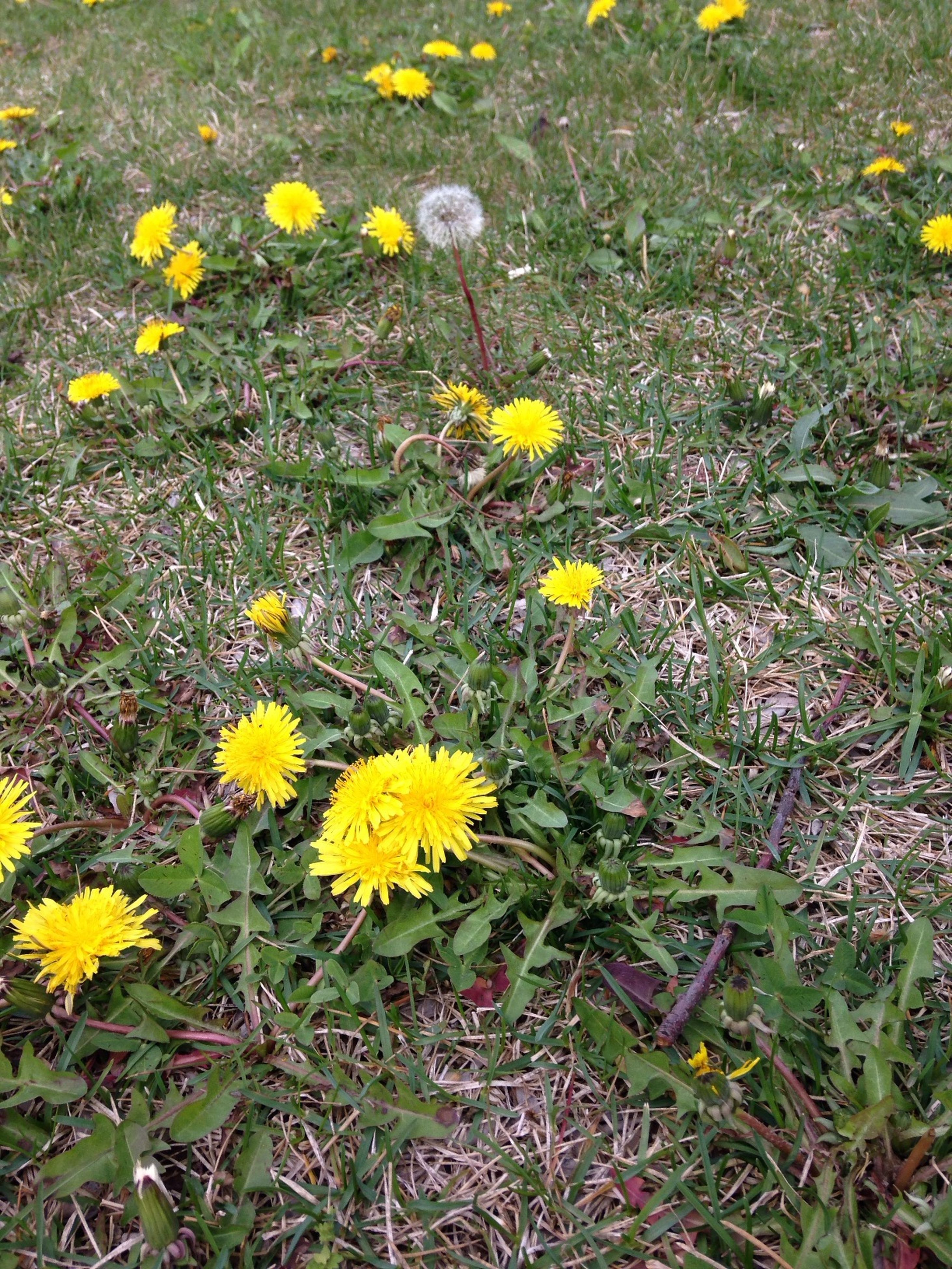 flower, yellow, freshness, growth, fragility, field, petal, beauty in nature, grass, flower head, blooming, plant, nature, high angle view, daisy, green color, wildflower, in bloom, day, outdoors