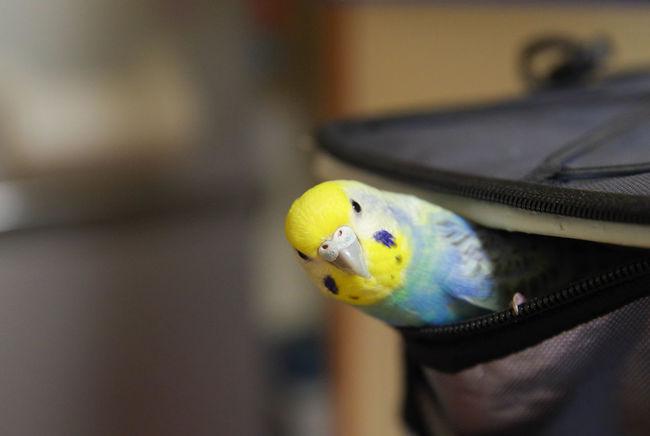 おてんばで寂しがりやなぴこ。今日も仕事頑張ってくるからね💕 セキセイインコ Budgerigar Bird Birds Of EyeEm  Bird Photography
