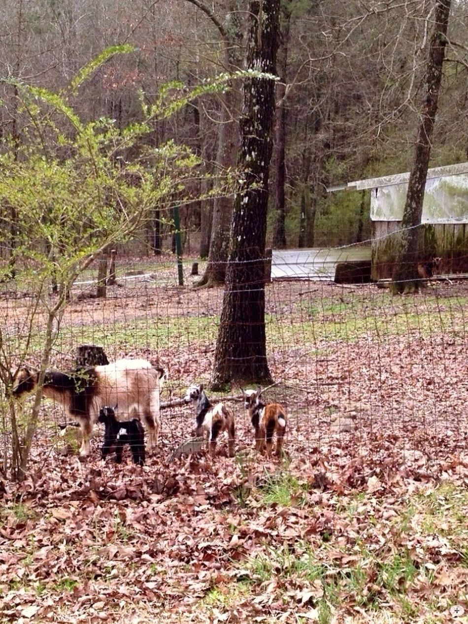 Cute Goats Baby Goats Drive By Shooting