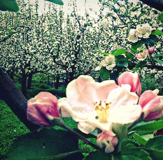 Apple flowering, Shopian Kashmir. Nature Flower Beauty In Nature Fragility Tree Freshness Blossom Outdoors Close-up Plant Green Color Growth Flower Head Love Nature Photography No People Day Cloud - Sky Nature Travel Beauty Beauty In Nature Beautyofnature Kashmirphotographers Kashmir Kashmir Is Heaven
