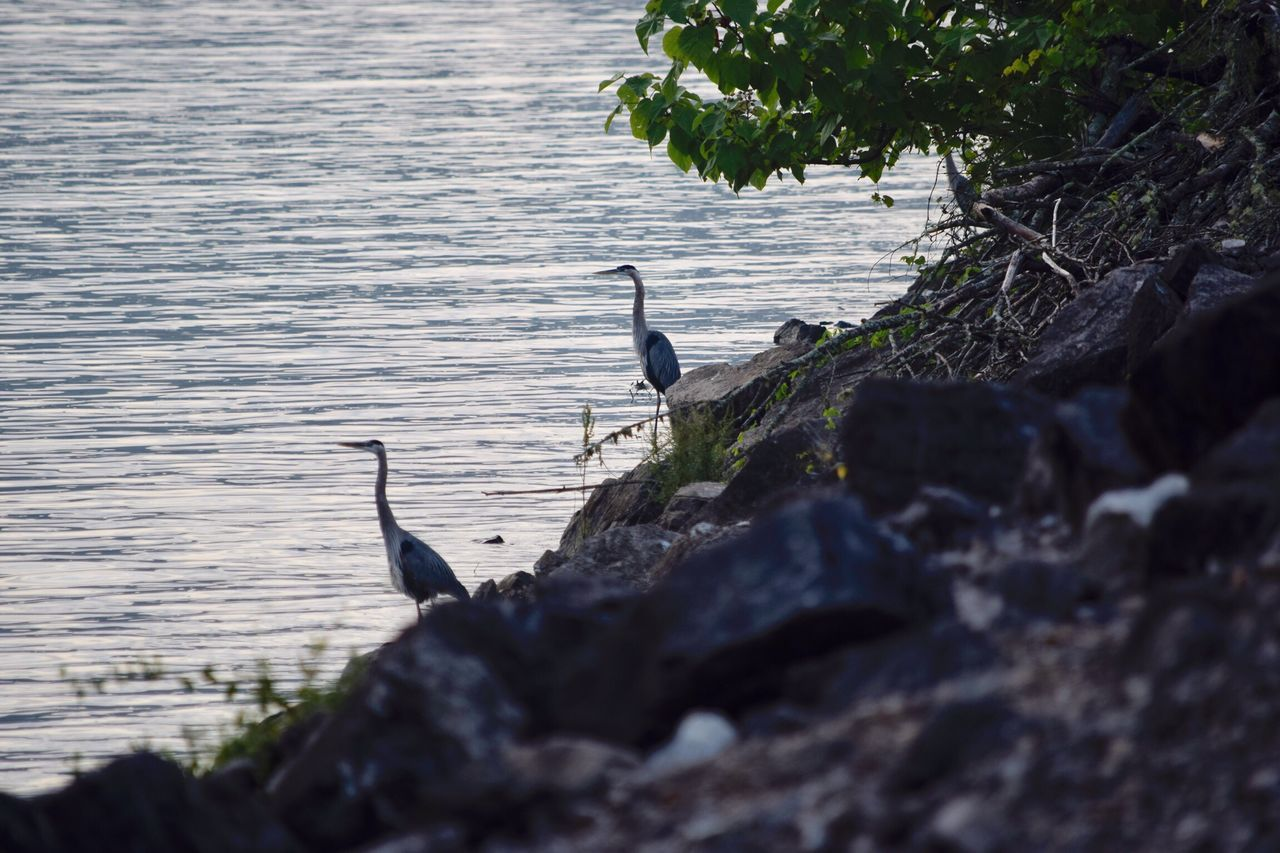 bird, animals in the wild, animal themes, animal wildlife, one animal, nature, water, lake, day, no people, outdoors, rock - object, perching, beauty in nature, tree