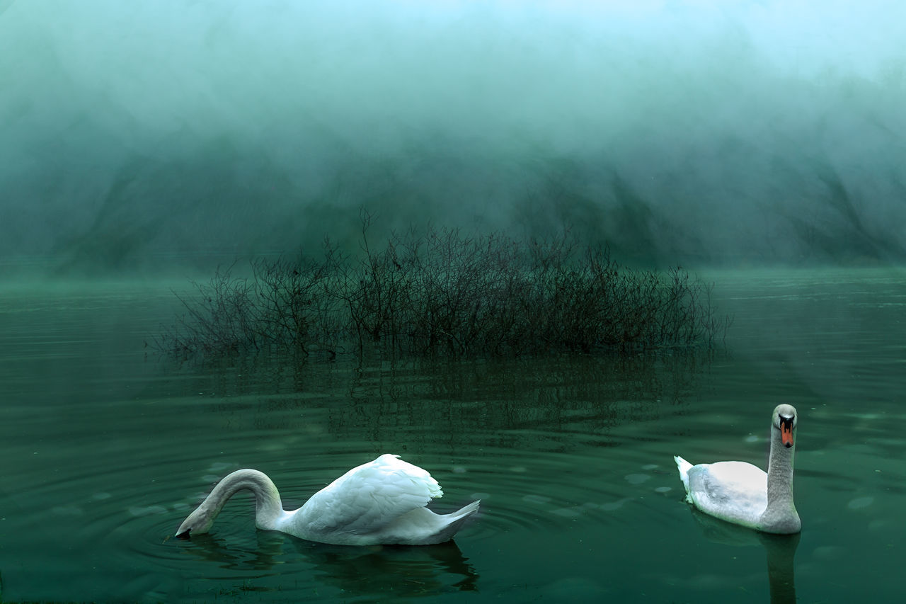 Water Lake Nature Fog No People Animals In The Wild Beauty In Nature Day Outdoors Swimming Animal Themes SwansTraveling Still Life Andernach Good Morning Nature German Night Nightphotography Idylle Animsl Landscape River Harmonie Fresh On Market 2017