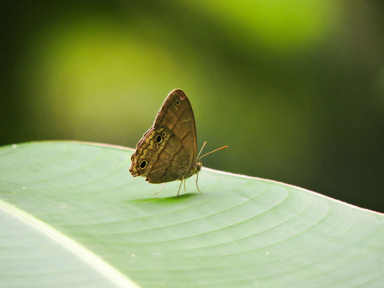 Animal Themes Animals Art In Nature Banana Leaf Beauty In Nature Butterfly Butterfly - Insect Green Color Insect Leaf Magazhu Natural Pattern Nature No People Outdoors Satyr Wildlife Yelapa Showcase July