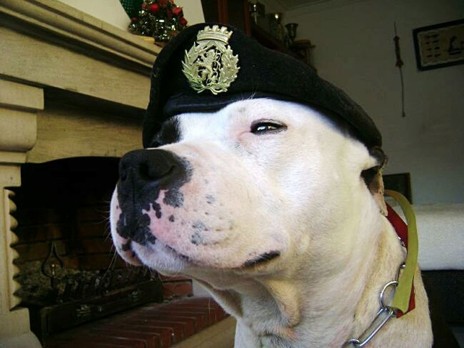 Military Police Pitbull Fhotography dog army