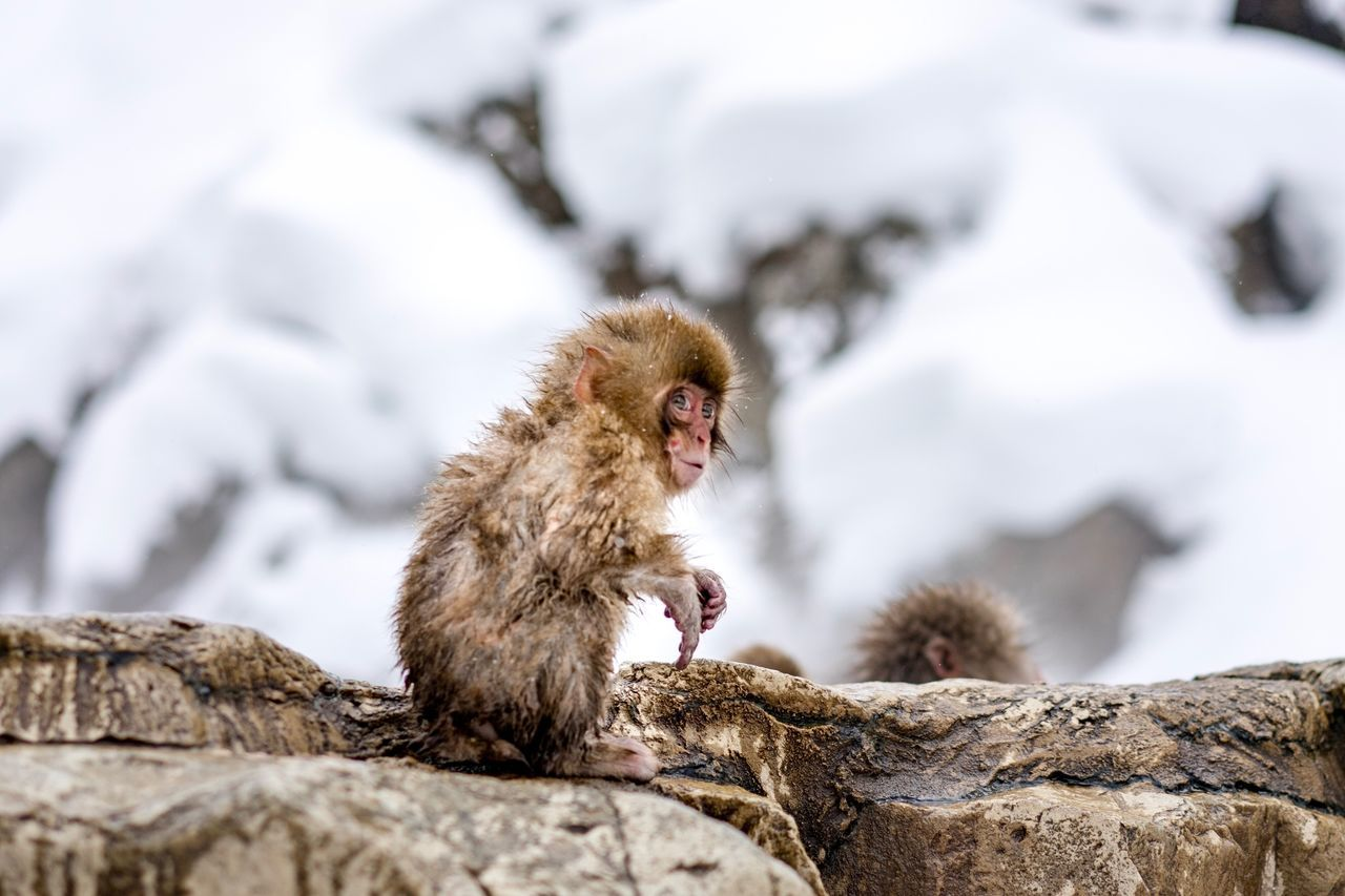 Animals In The Wild Animal Themes Cold Temperature Winter Animal Wildlife Mammal Nature Snow No People Young Animal Day Outdoors Togetherness Monkey Close-up Travel Destinations Hot Spring Japanese Macaque Snowmonkeys Snowing Day at Jigokudani-Snow-Monkey-Park in Nagano Prefecture,Japan Ski Holiday Christmas Lights Geology