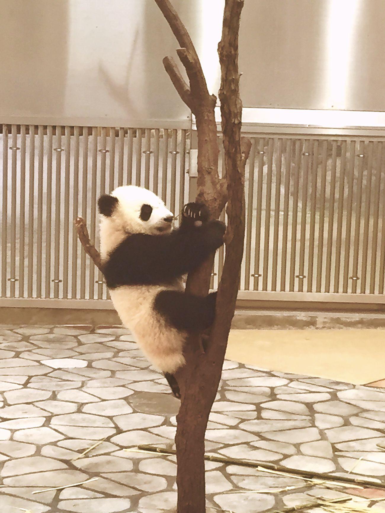 Taking Photos Panda Animals Cute