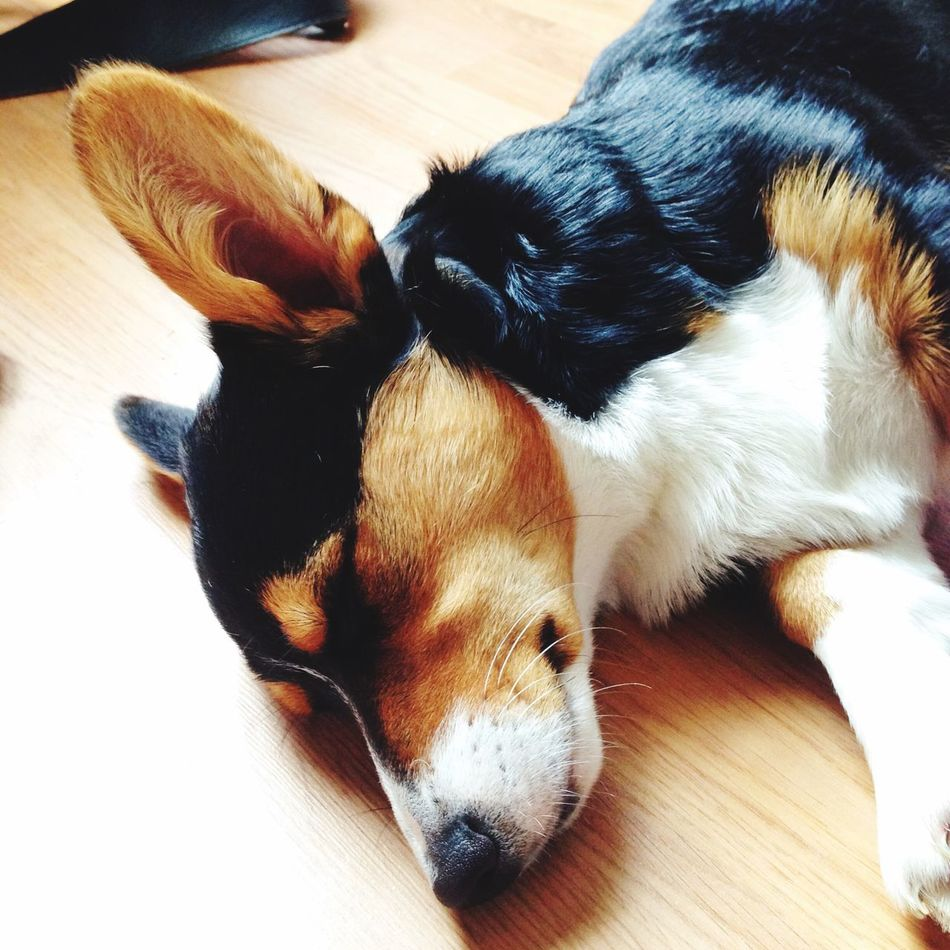 Beautiful stock photos of corgi, Animal Themes, Day, Dog, Domestic Animals