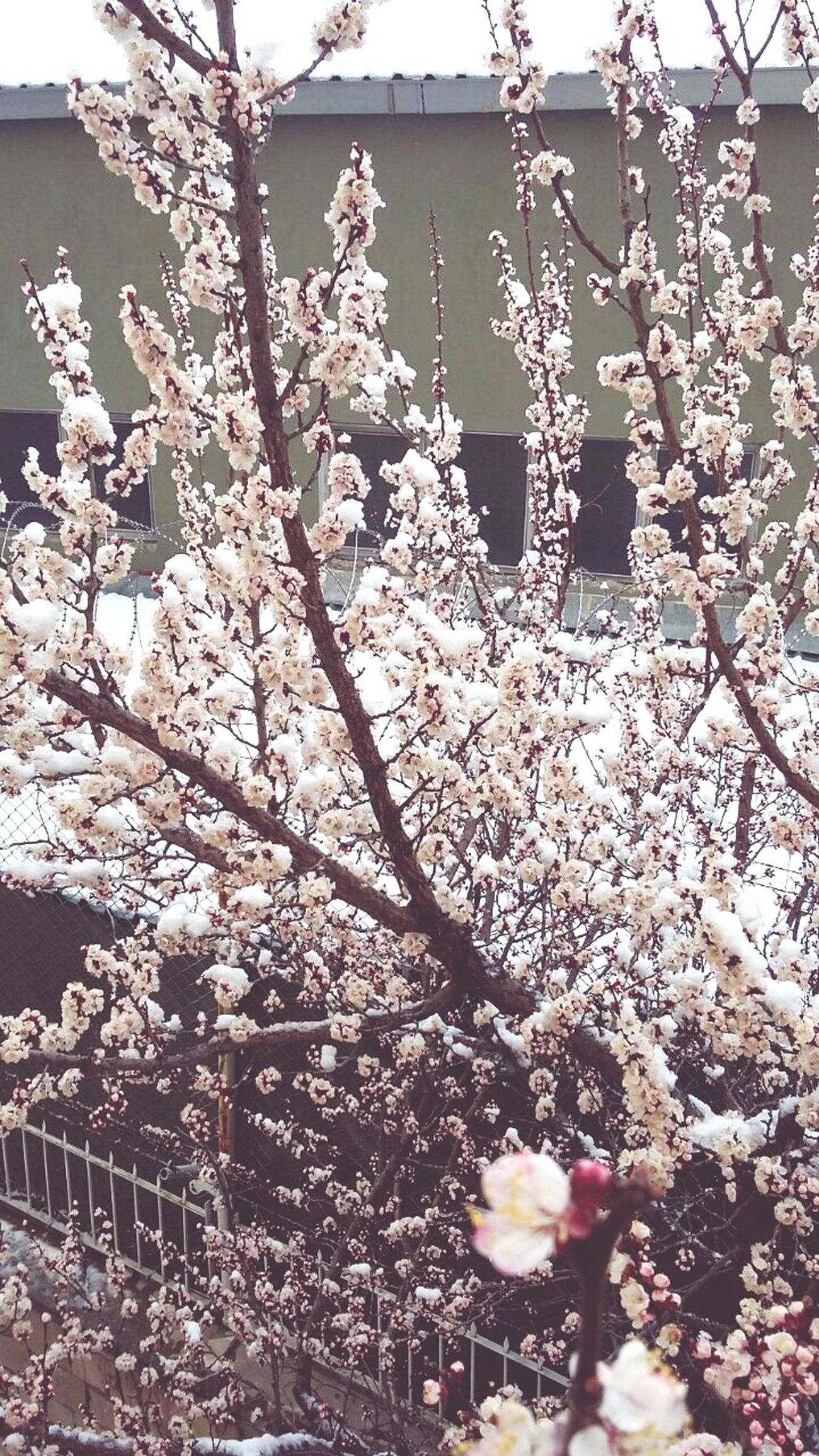 Cold Winter ❄⛄ Flowers :) Snow And Tree Konya Meram