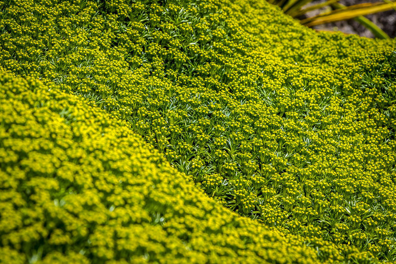 Azorella is a genus of about 70 species of flowering plants in the family Apiaceae, native to South America, New Zealand and the islands of the Southern Ocean. They are low-growing dwarf mat-forming plants growing in high exposure on mountains and subantarctic coasts; with great age they may form rounded mounds of foliage up to 1 m high but are usually less than 10 cm high. https://en.wikipedia.org/wiki/Azorella Azorella Beauty In Nature Close-up Green Color Green Color Growth Nature Outdoors Plant Yellow