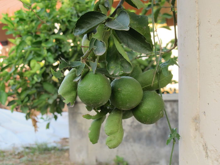 Agriculture Beauty In Nature Branch Close-up Day Food Food And Drink Freshness Fruit Green Color Growth Healthy Eating Leaf Lemon Lemon Garden Nature No People Outdoors Tree
