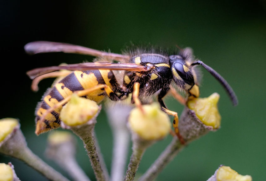 Animal Themes Animal Wildlife Animals In The Wild Beauty In Nature Close-up Day Flower Fragility Freshness Insect Nature No People One Animal Outdoors Plant Pollination Tenebrio.photos Wasp Zeiss60mm