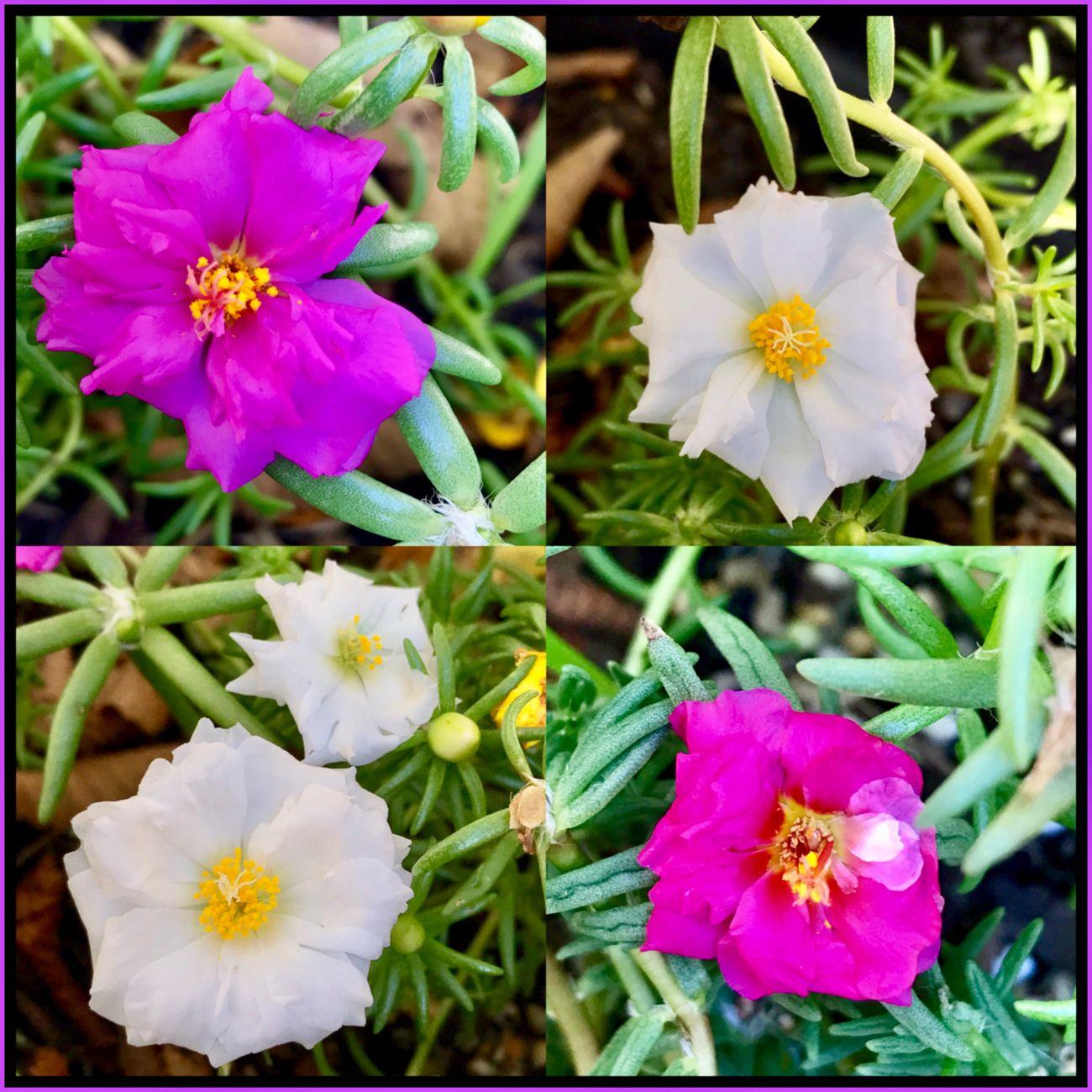 My flower's 🌺🍃🌸 Flowers Flower. Flowercollage. Flower Lovers Flowers_collection Flowers Of EyeEm Flowers Of The World. Flower Photography Flowers,Plants & Garden Floweroftheday Flowering 🌺🍃🌸