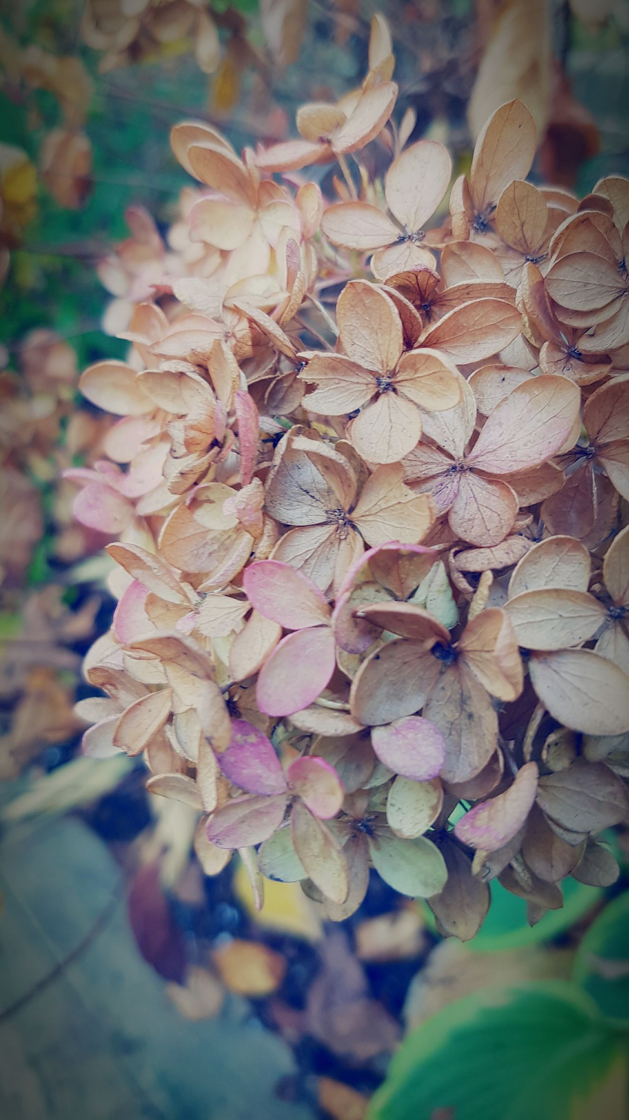 Autumn Hydrangea... Flower Head Dried Flowers Nature Hydrangea Fall Beauty Flowers,Plants & Garden EyeEm Gallery EyeEm Market © Eyeem Market Team Mobile Photography Eyeemphotography Eyeem Collection Macro Photography Eyeem Canada Eyeem Marketplace Eye4photography  EyeEm Best Shots EyeEm Best Shots - Nature Lmage Of The Week Plant Nature Outdoors Close-up EyeEmBestPics Check This Out!