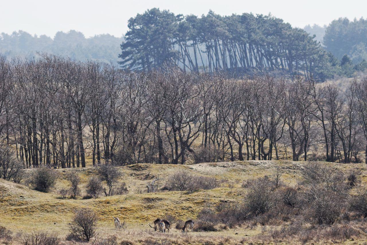 Deerhunter Dutch Landscape Dunes Kennemerduinen Landscape Deer Hunting Spring2015 Nature