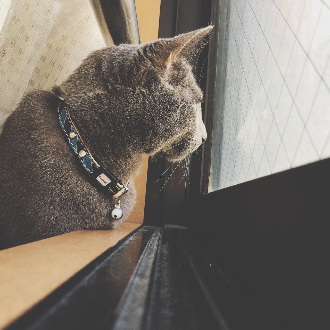 Cat RussianBlue Kitten