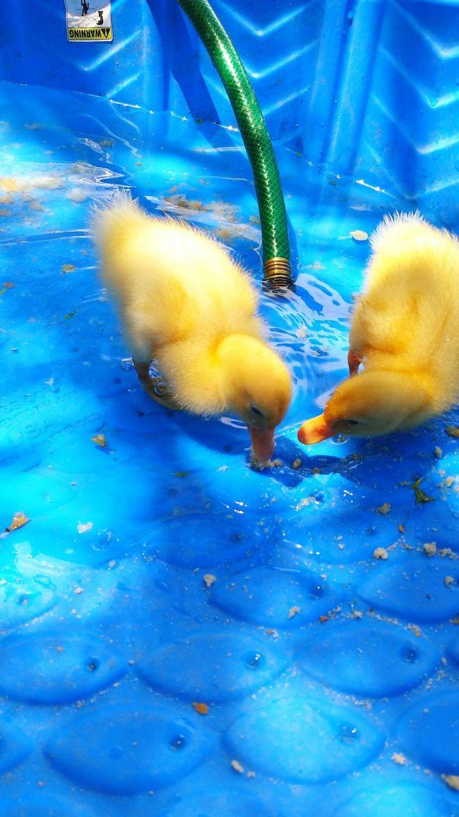 Eyem Babies Baby Ducks Backyard Barnyard Eyem Photography Taking Photos Calming