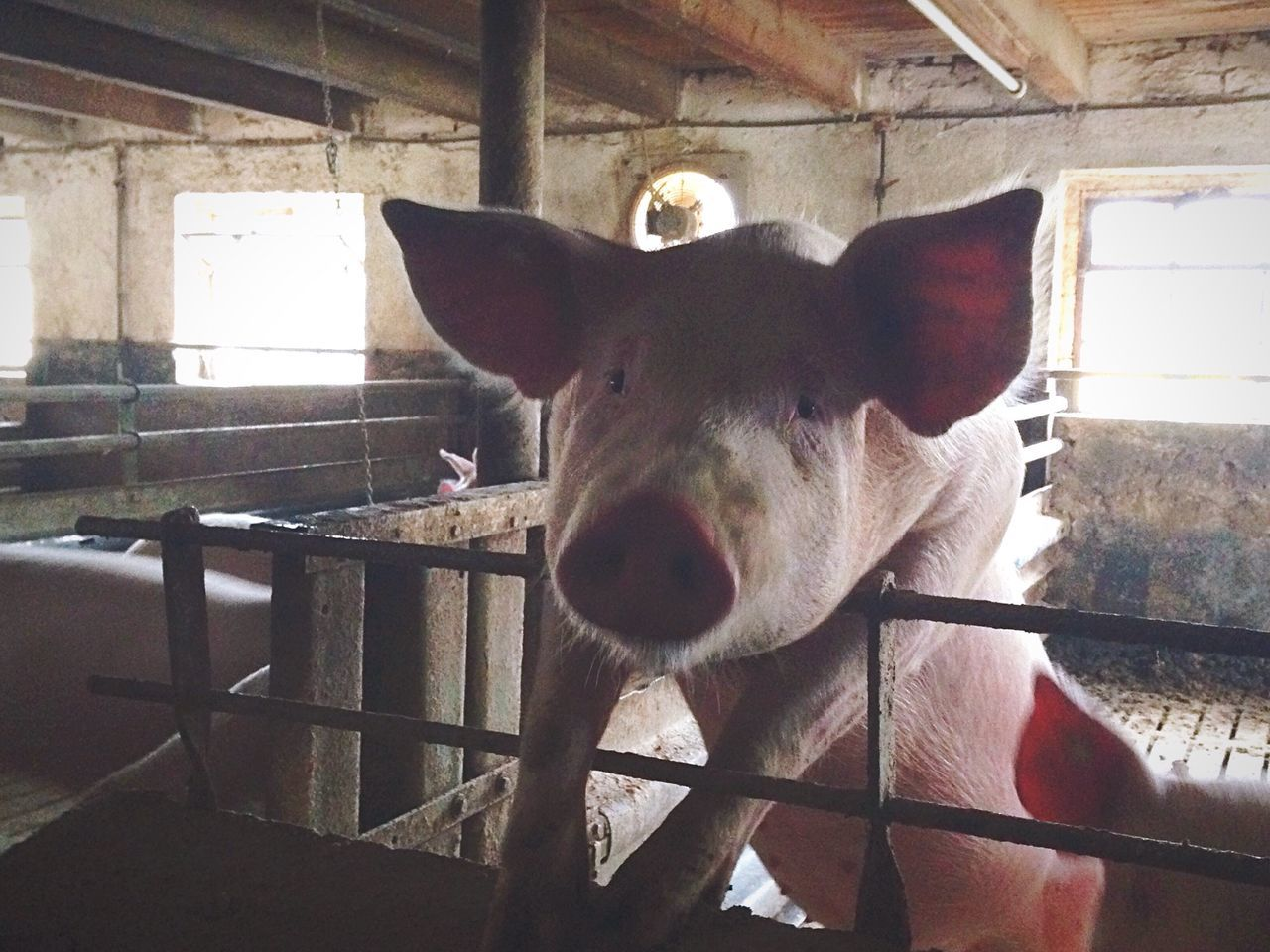 Portrait Of Pig In Barn