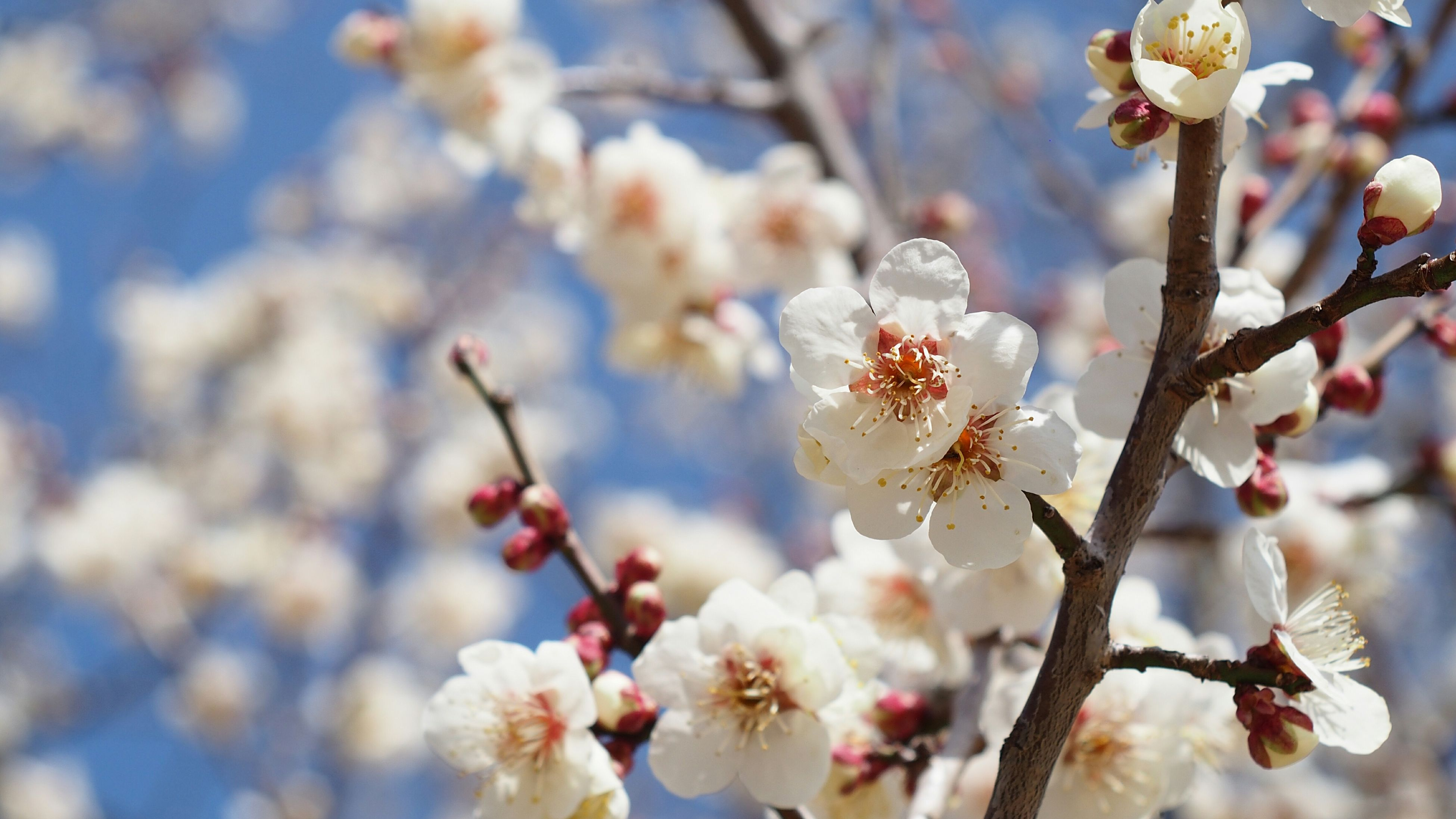 flower, branch, freshness, growth, tree, cherry blossom, fragility, focus on foreground, beauty in nature, blossom, cherry tree, nature, twig, close-up, springtime, in bloom, fruit tree, low angle view, petal, blooming