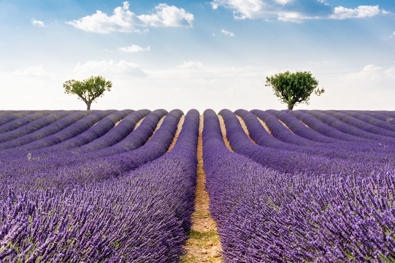 Sunset over lavender field. Simmetry Miles Away Lavender Lavender Field France Sunset EyeEm Best Shots Unique Perspectives Composition Right On The Middle Showcase July Summer Picture With Smell Purple Rows Smells Like Summer Idyllic Travel Photography Rows Of Lavender Lavender Purple Beautifully Organized Betterlandscapes EyeEm Best Shots - Landscape Perfect Trees Lavender Rows