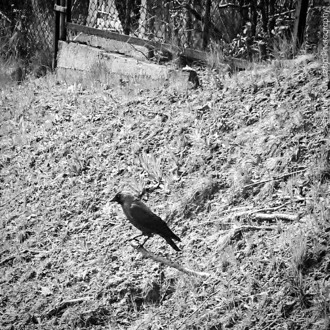 Jastrzębie - Zdrój Street Photography Streetphotography Coloeus Monedula Nature_collection