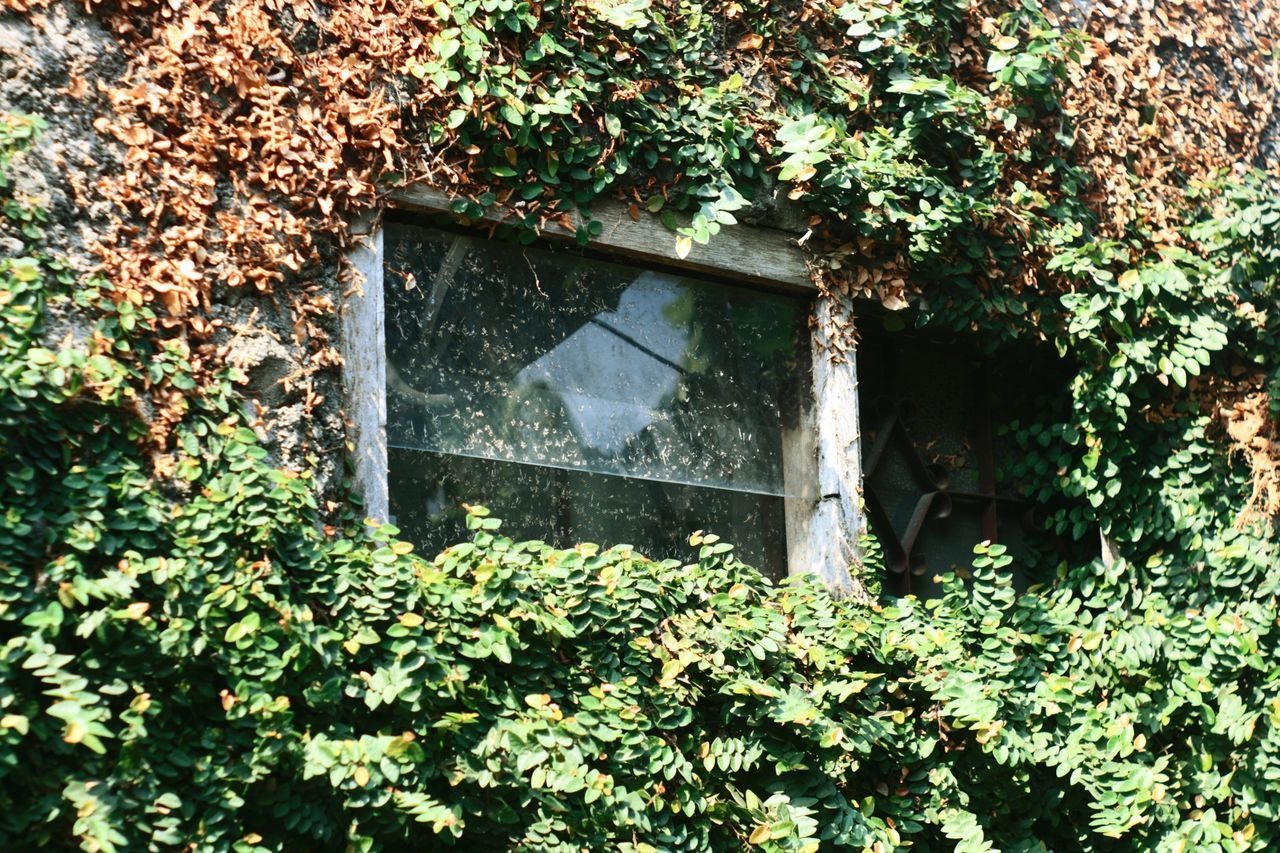 Architecture Beauty In Nature Building Exterior Built Structure Close-up Creeper Day Green Color Growth Ivy Leaf Nature No People Outdoors Plant Window