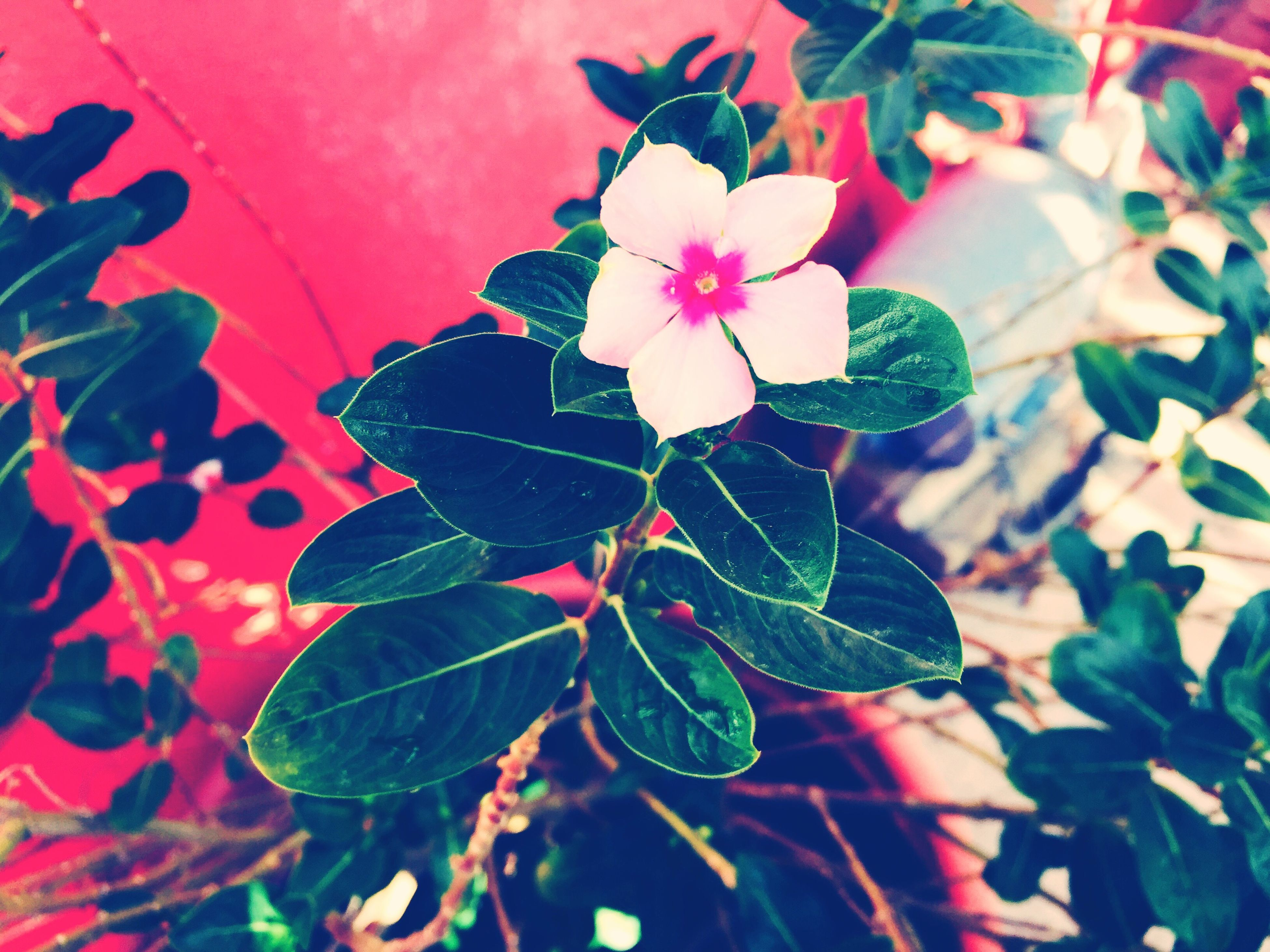 leaf, flower, growth, fragility, freshness, petal, plant, beauty in nature, nature, close-up, pink color, flower head, green color, blooming, leaf vein, in bloom, day, no people, outdoors, stem