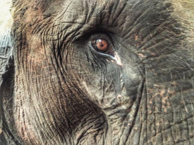 Showcase July Elephant Eyes Saddness Intriguing Bali INDONESIA Animals Animal
